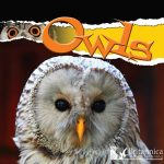 Owls (Raptors (Rourke Library))